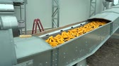 Corn move on the conveyor tape in the plant warehouse after harvest in the field HD footage