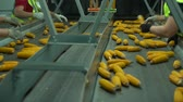 Workers stand near the tape conveyor and sort corn which move in the plant and drop defect HD Slow motion