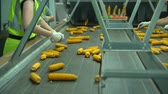biomasse : People are sorting corn in conveyer in plant after harvest 50 FPS