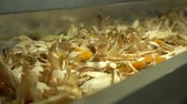 Close-up footage where unfinished corn is moving on the tape conveyor in the plant HD SLOW MOTION