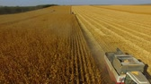 Two combines are harvest wheat in sunny day drone wide shot 4K