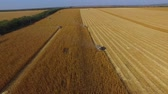 biomassa : Drone fly up and show super wide angle field with combines which harvest the wheat 4K footage Stockvideo