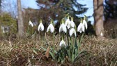 kar taneciği : Snowdrops in the sunny meadow in the wind.