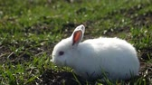 vertebre : White rabbit in spring green grass background Vidéos Libres De Droits