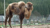 aflição : A tired camel in captivity at the zoo, hungry and skinny camel