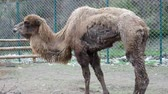 dromedar : A tired camel in captivity at the zoo, hungry and skinny camel