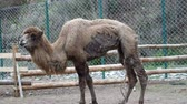 sufrir : A tired camel in captivity at the zoo, hungry and skinny camel