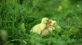 кряква : Small ducklings outdoor on a green grass Стоковые видеозаписи