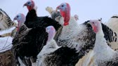 orientar : wild turkey, turkey winter, a group of turkeys Stock Footage