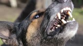 chránit : Barking enraged shepherd dog outdoors
