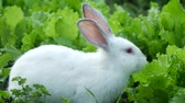 pet friendly : White rabbit washes Stock Footage