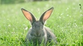 renkli görüntü : Adult rabbit in green grass, gray rabbit on the grass