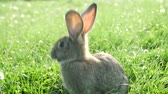 заяц : cute grey rabbit eating a pink flower petal while laying on green grass field in the shade.