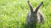 lebre : Adult rabbit in green grass, gray rabbit on the grass