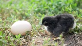 casco : little nestling chicks and white egg on grey background