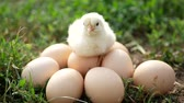 both : Little chicken and egg on the grass Stock Footage