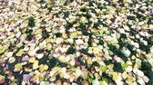 Bright autumn leaves on the grass. Close-up and slow camera movement forward.