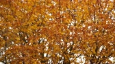 luxuriante : Autumn tree orange leaves rack focus 4K