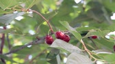 cherrytree : Three sweet-cherry fruits on the greenly sprig Stock Footage