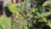 herb : Panicle dill