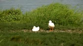 cackle : White geese near a pond. High definition footage.