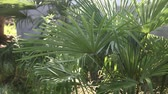 trachycarpus : Swaying green leaves of palm on the wind