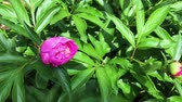 shallow depth of field : Beautiful blooming peony in the garden Stock Footage