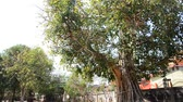 windy : Ficus religiosa or sacred fig Tree in Wat Pho Sri Sa-at at Pon ngoy Village in Surin, Thailand