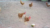 avian : Betong chicken farm by farmers in the three southernmost provinces of Thailand