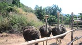 fazenda : Ostriches or common ostrich or Struthio camelus relax in farm at outdoor in Kamphaeng Phet Province, Thailand