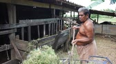 terneros : Thai fat man older work feeding food and grass to cows in paddock at agricultural countryside farm on April 11, 2017 in Phatthalung province of southern Thailand.