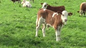биологический : Young calf and Cows on the meadow