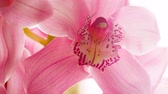 marry : Rose Orchid flower closeup with camera zoom and blur at the end. Gentle, romantic sweet footage.