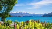 lupine : Time Lapse - Beautiful Lupines by Lake Wanaka  in New Zealand Stock Footage