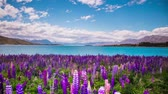 Time Lapse - Beautiful Lupine Flowers by Lake Tekapo, New Zealand Stock mozgókép