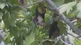 destructive : An Indian Flying Fox, Pteropus Giganteus, Enjoying A Tasty Bread Fruit Hanging Next To Another One On A Bread Fruit Tree In The Maldives. Stock Footage