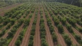 verdura : The camera moves in the air from the left to the right, in the frame of the rows of cherry trees