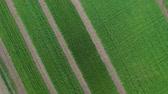 povo : The camera moves from top to bottom. In the frame, a field of agricultural plants. Stock Footage