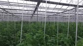 berçário : The camera moves inside the greenhouse. In the frame there are rows of tomato bushes. Vídeos