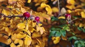 piekne : Close up of briar ripe red berries on yellow leaf branch, autumn