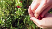 cowberry : Close-up view of red cowberries on green brunches