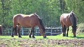 não urbano : Two chestnut horses feeding at sunny summer day on meadow Vídeos