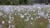pasture : Marshes with cotton-grass on the north of Karelia in summer season, Russia