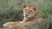 rest : Laying lioness looking at camera in Serengeti National Park and Ngorongoro Crater, Tanzania, Africa