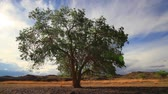 trees : Lonely Tree on Summer Field against a beautiful sky Stock Footage
