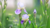 violeta : Irises blooming on a green background. Spring bouquet of flowers