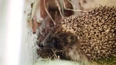 espinhoso : Funny wild hedgehog walking and sniffing in green grass. Hand held shot. Selective focus. Stock Footage