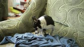 doghouse : A small chihuahua dog or toy-terrier is preparing to sleep on the couch.