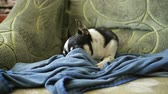 doghouse : A lovely chihuahua dog or toy-terrier sleeps on the sofa, hiding its nose in a rag. Stock Footage