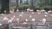 BERLIN, GERMANY - NOV 23, 2018: Pink flamingos in Berlin zoo. Стоковые видеозаписи